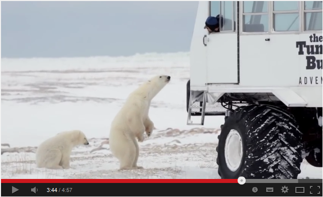Frontiers North and Google Street View bring Canada's polar bears to your office